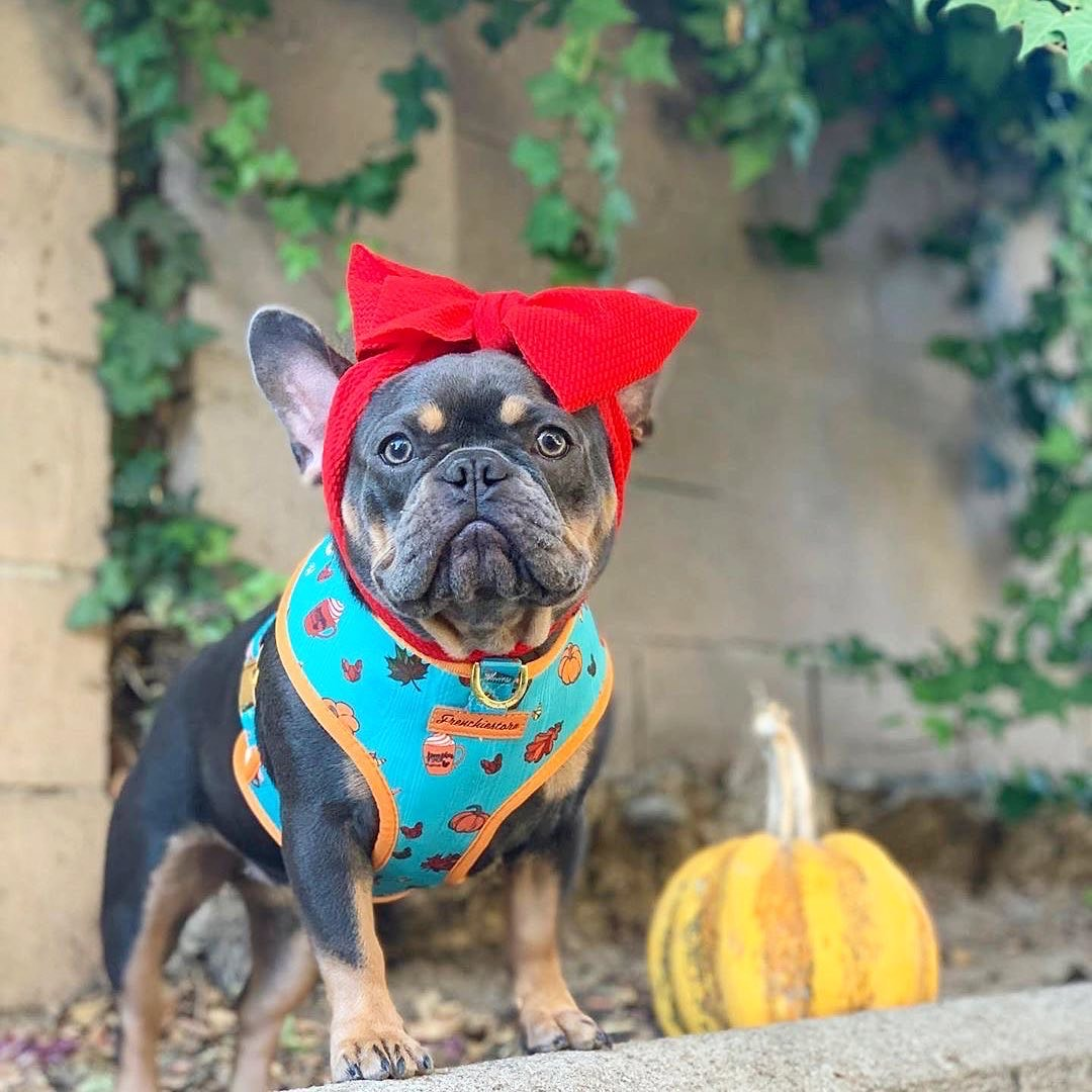 French Bulldog Harness | Versatile Health Harness | Pumpkin Spice Pupcup