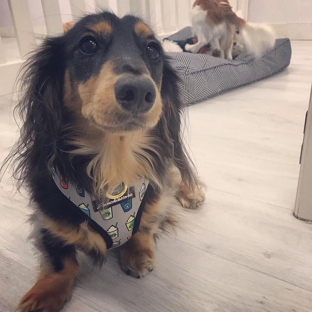 Imbracatura per cani bassotto puppachino