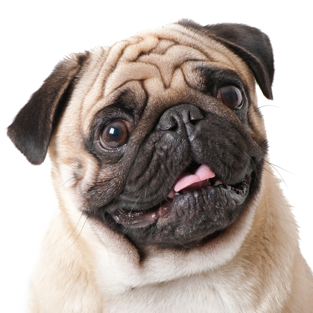 A quick summary of the Pug dog breed