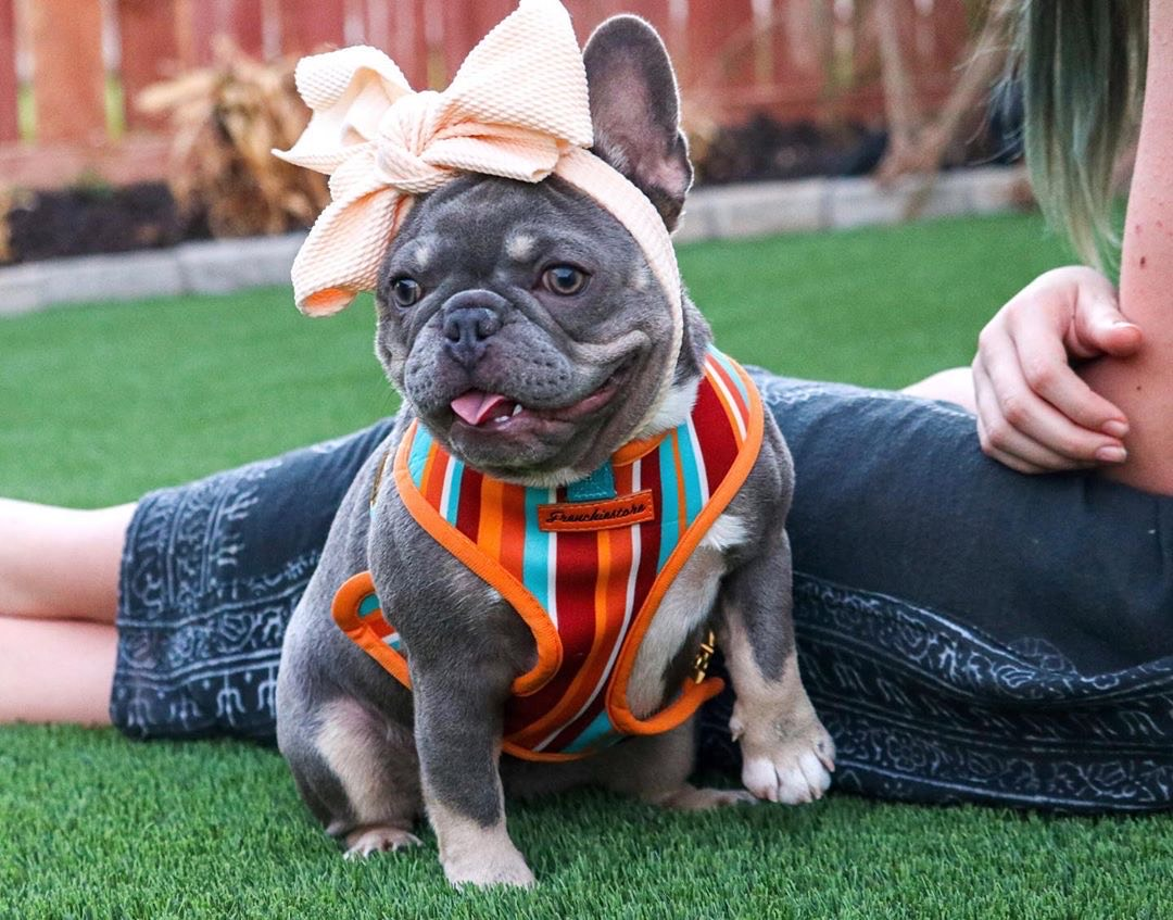 Adorable Blue and tan rare color Frenchie