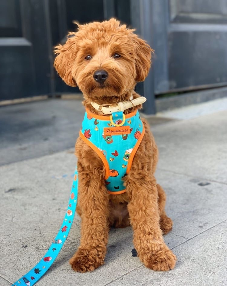 تولد الكلاب Goldendoodle يرتدي العاكسة Frenchiestore