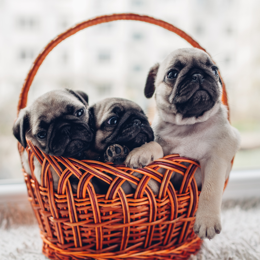 Life span and cost of the pug