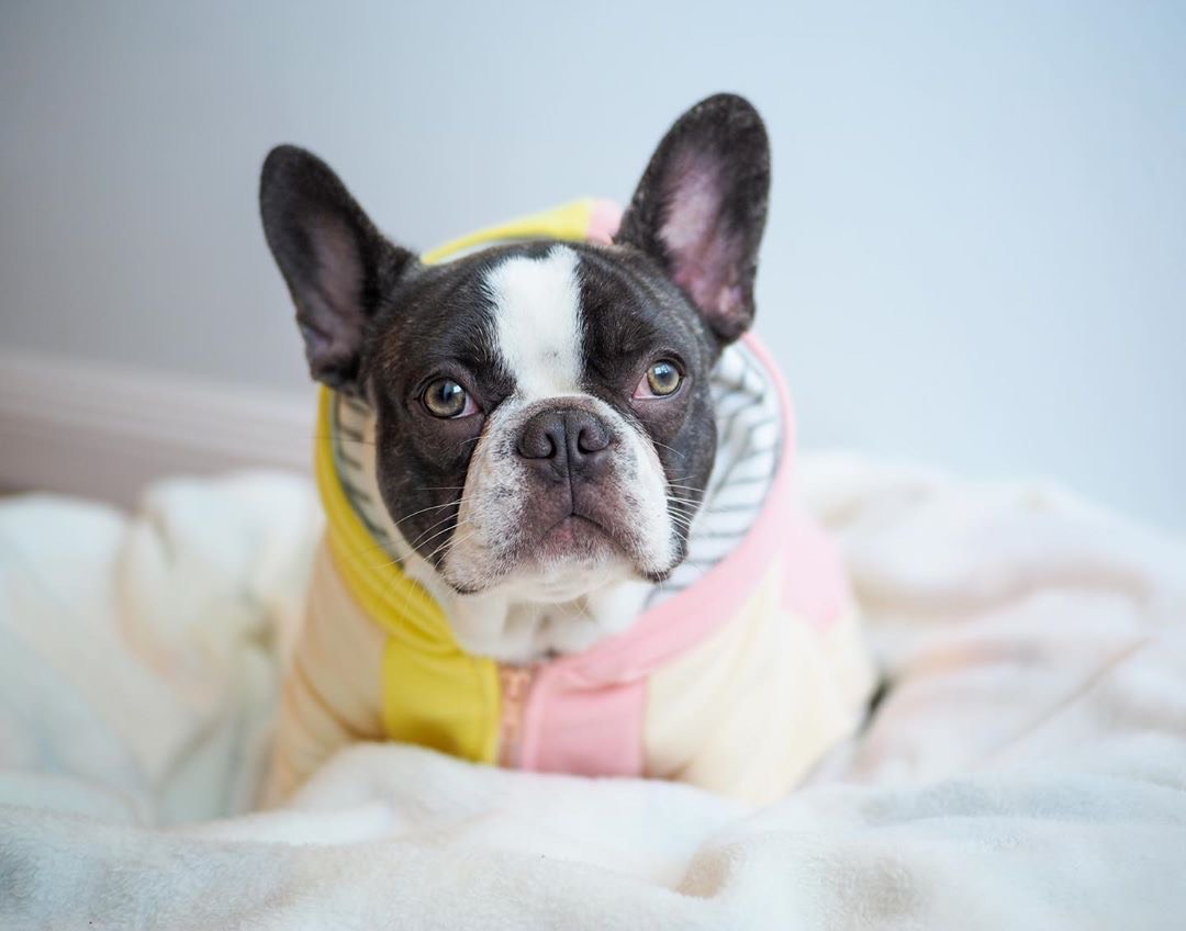 Frenchie dog hoodie | Frenchie Clothing | Banana Split