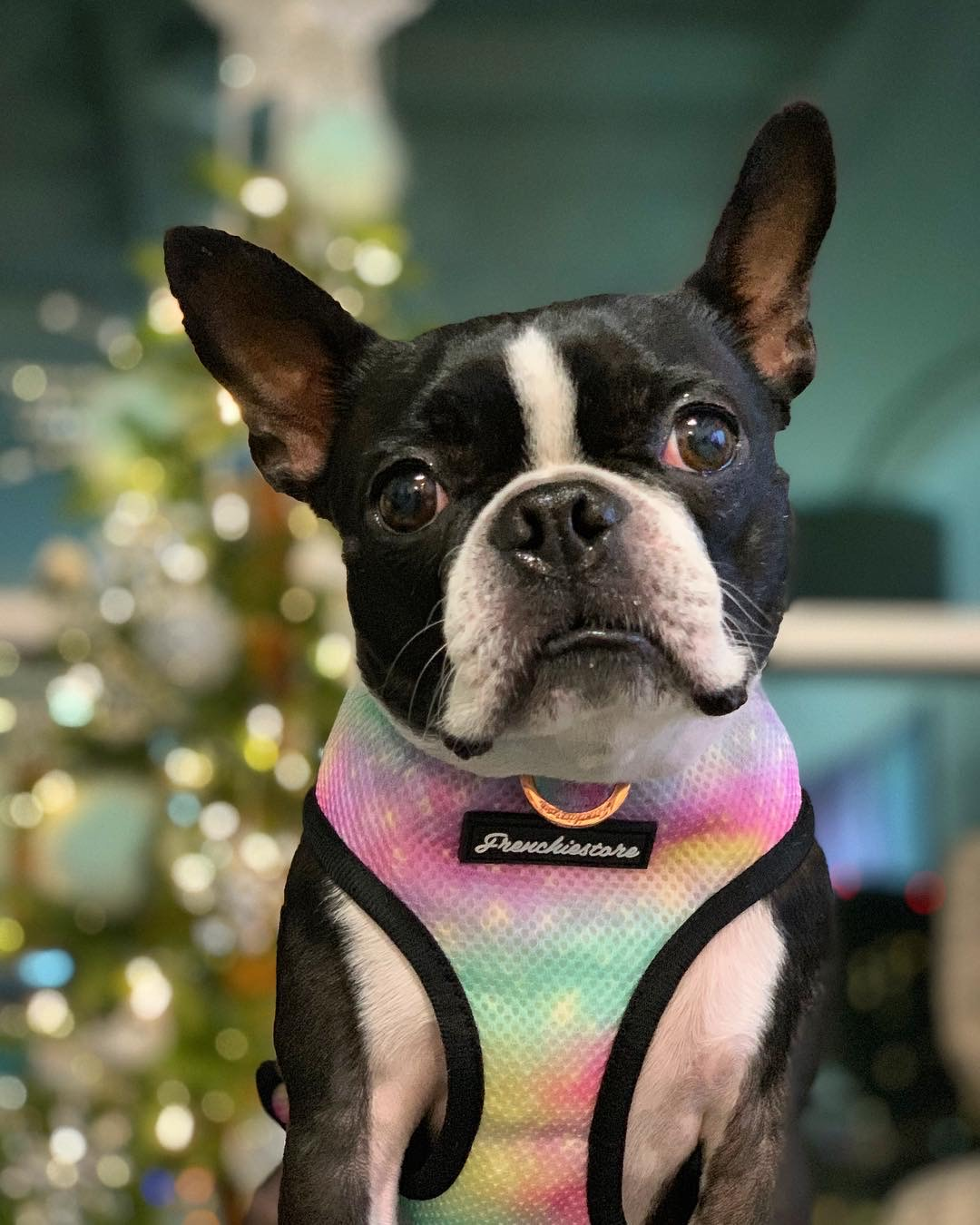 Boston Terrier doggy harness