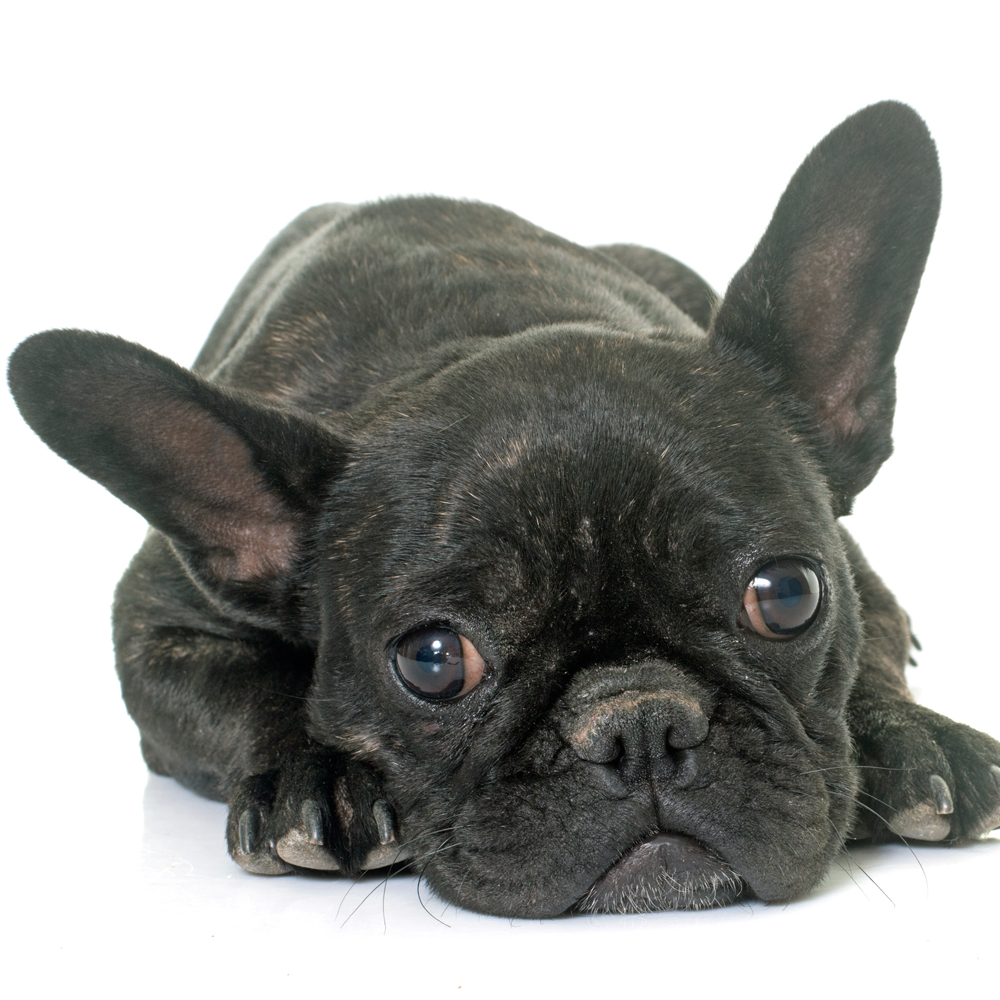 Ringworm in French Bulldogs