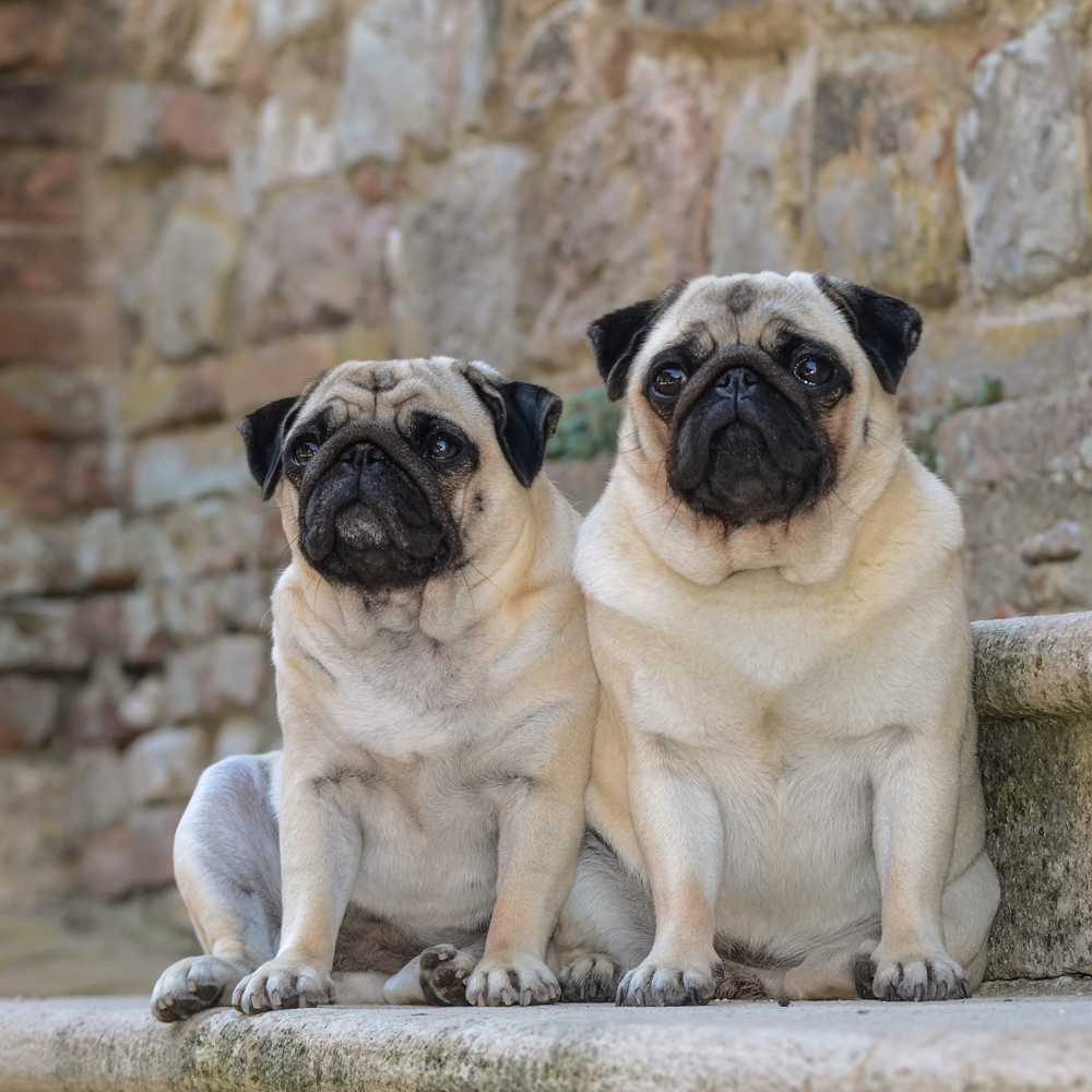 Spaying or neutering your Pug dog