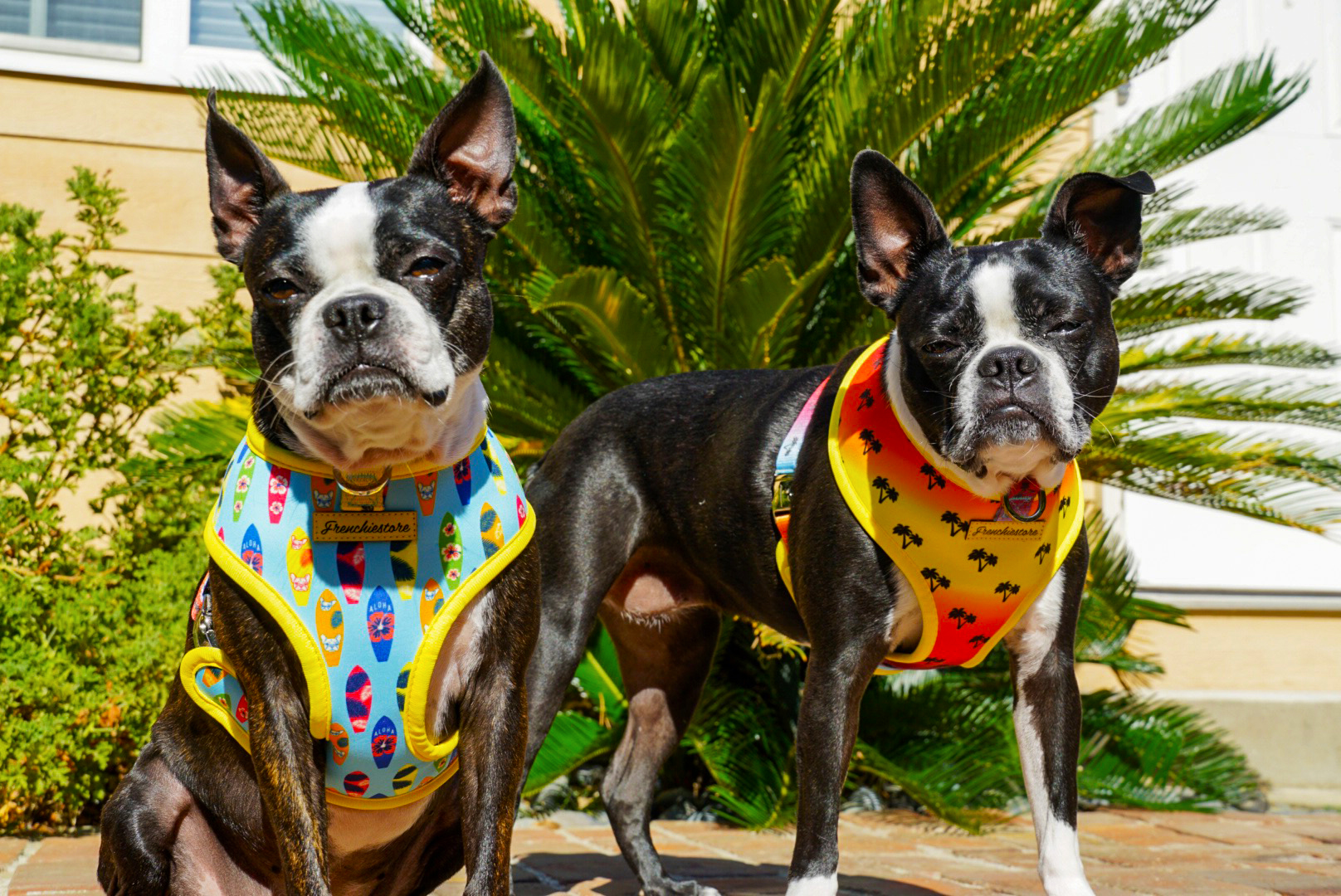 Harnais pour chien de race Boston Terrier