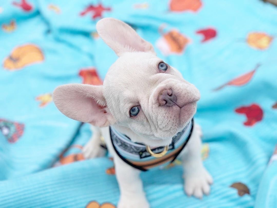 All about the French Bulldog Breed