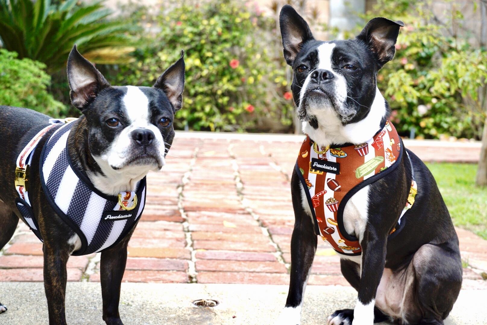 Harnais pour chien Boston Terrier