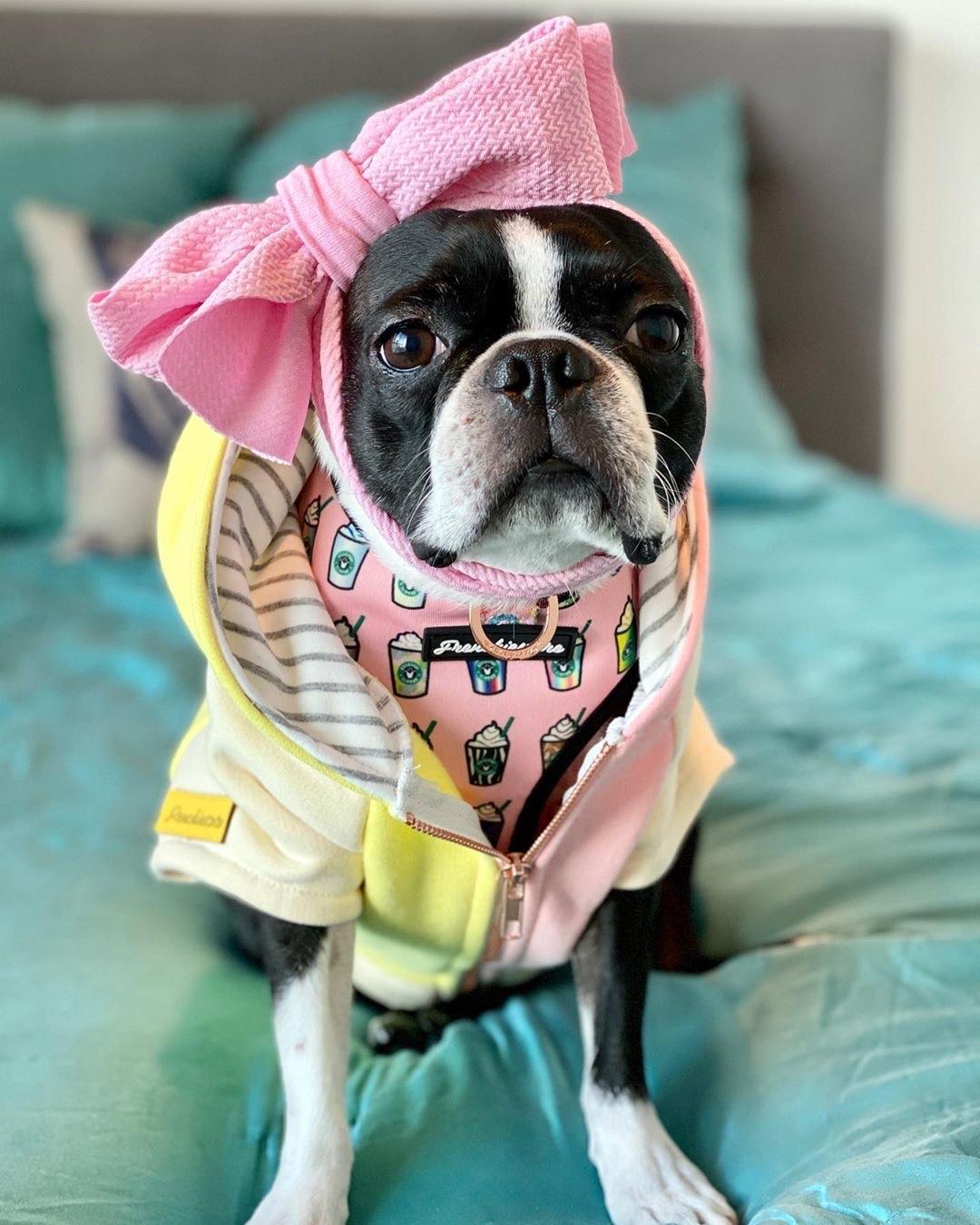 Boston Terrier Dog Hoodie hecha de algodón orgánico