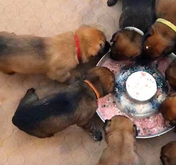 How to feed raw dog food to puppies