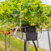 Strawberries Under Drip System