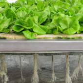 Lettuce Roots In Aeroponic System
