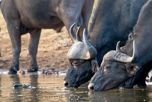 Trinkende Wasserbüffel