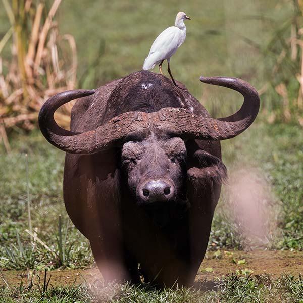 Wasserbüffel mit Vogel