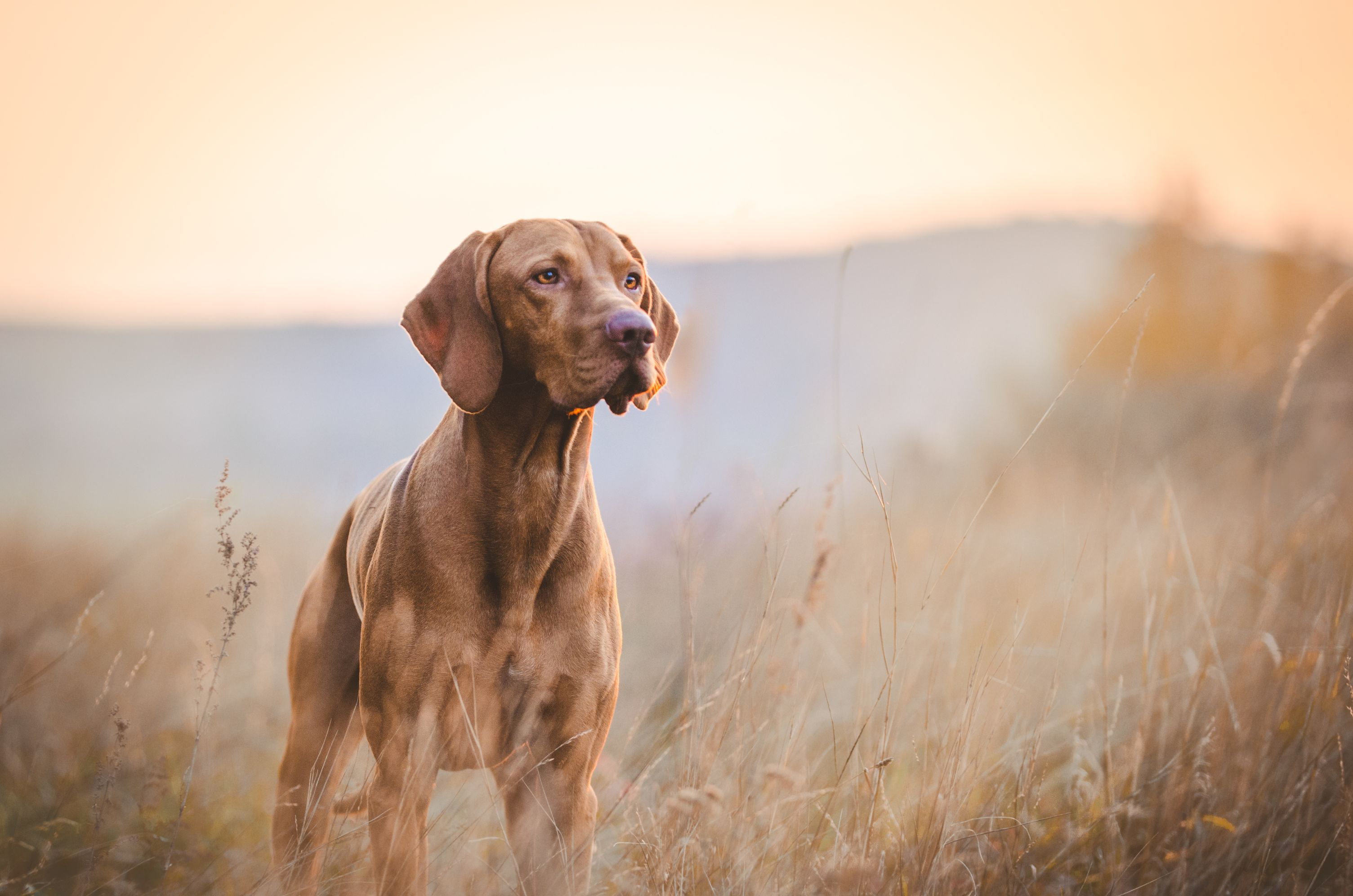 Visionary Pet Keto Vizsla