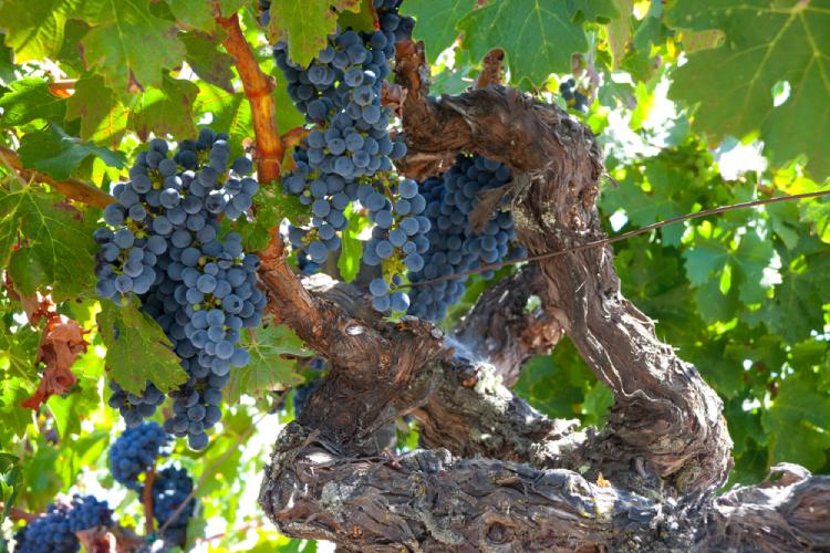 Zinfandel Wine Varietal Collection