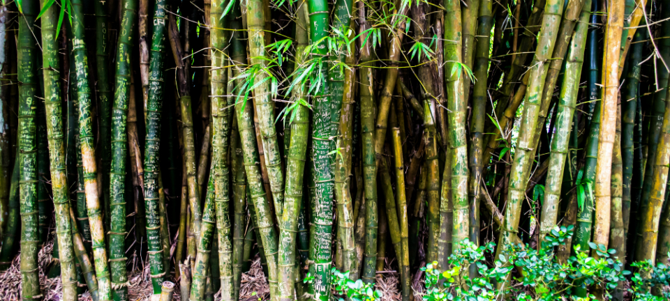A bamboo forest]