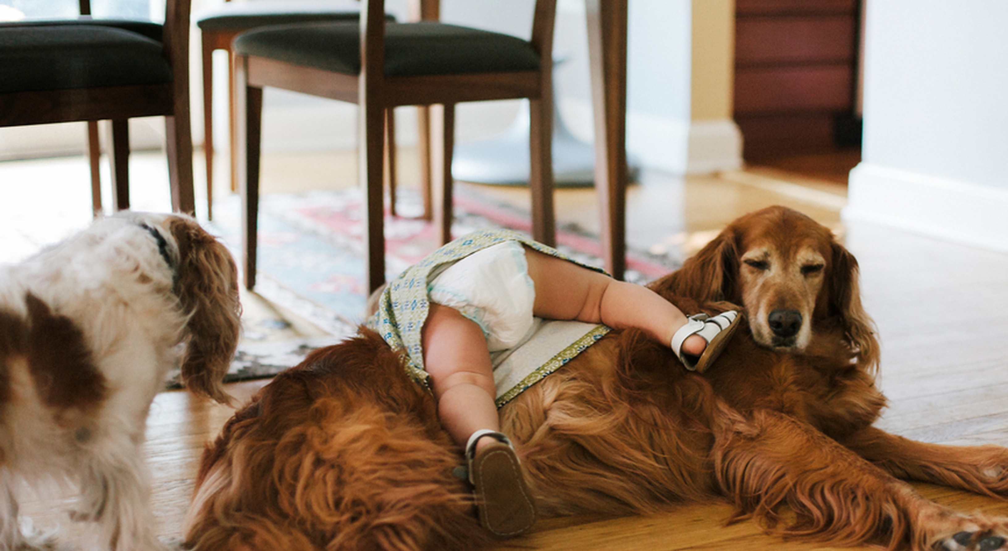 Toddler in nappy falling over dog