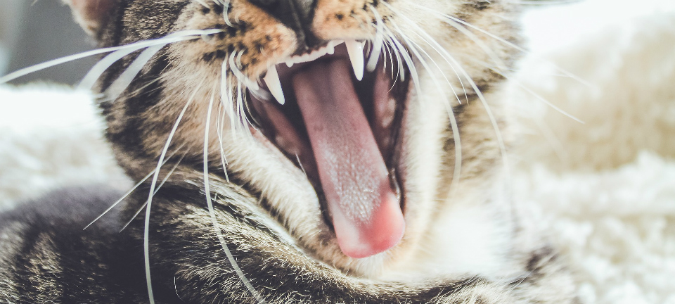 Cat yawning with a large tongue