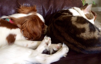 cute-cavalier-puppy-and-kitten-napping
