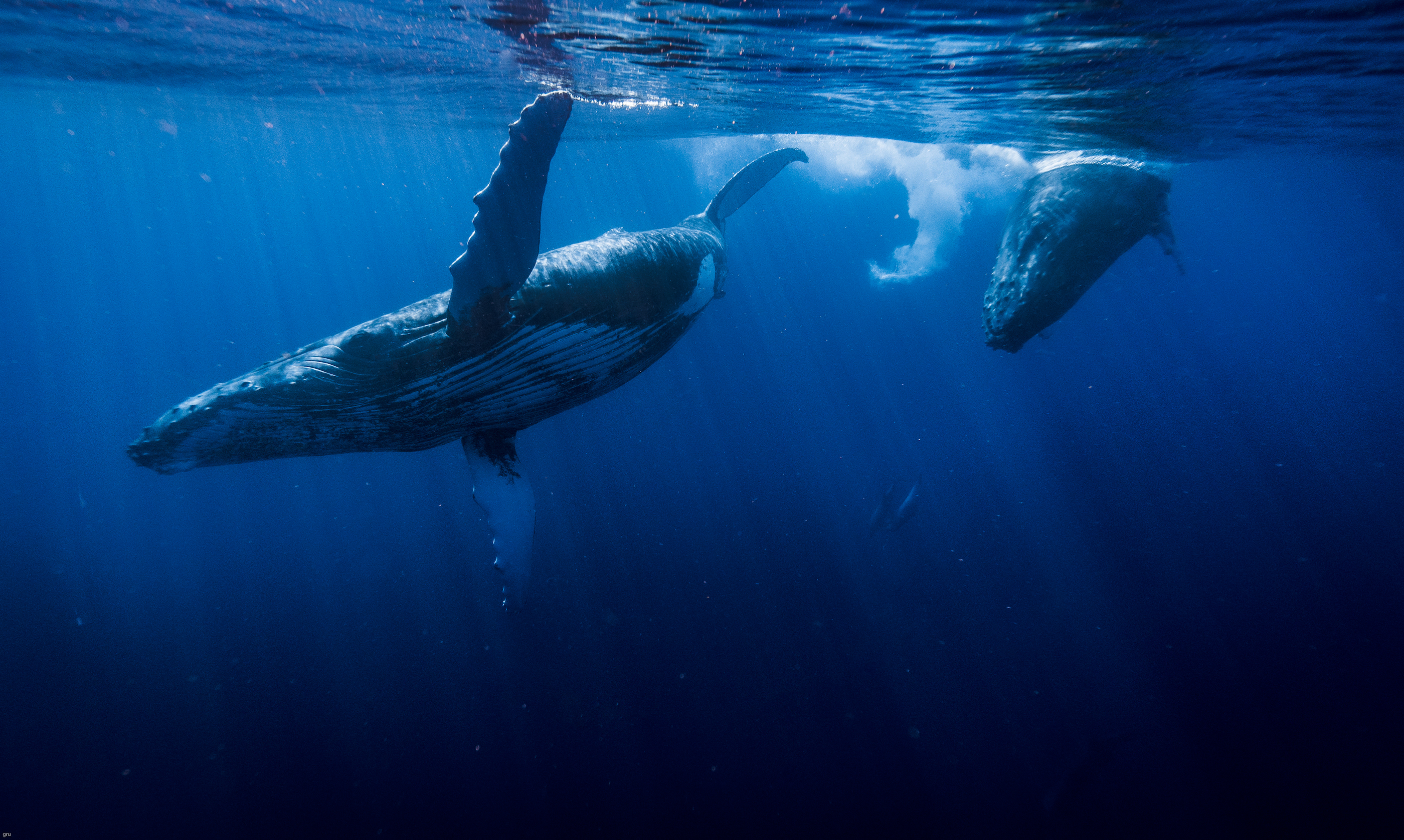 two whales at ocean surface shot from underwater