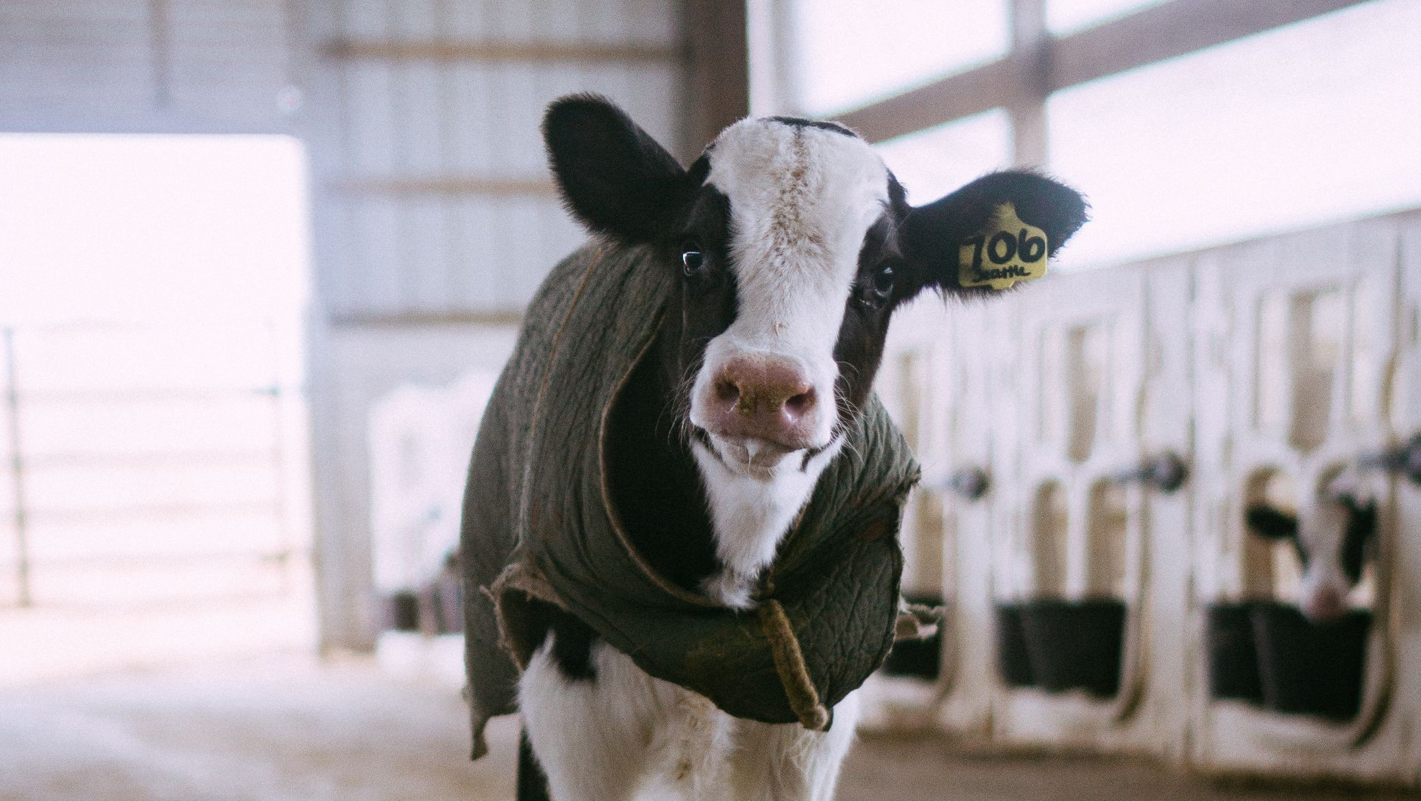 Baby Cow Photo By Amber Kipp Ethical Alternatives to Leather