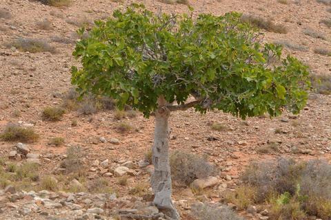 Vijgenboom vijg boom