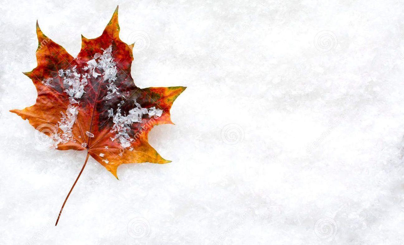 Autumn maple leaf on snow