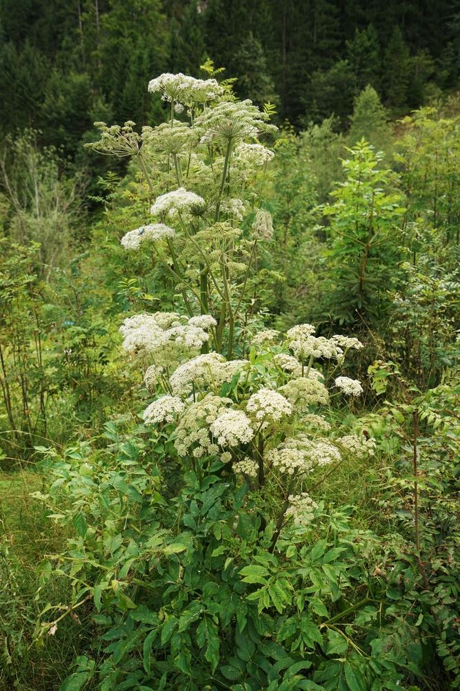 Growing Angelica Herbs