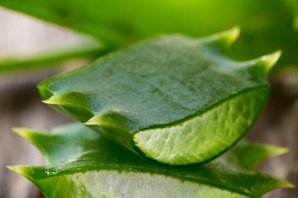 feuille et pulpe d'aloe arborescens