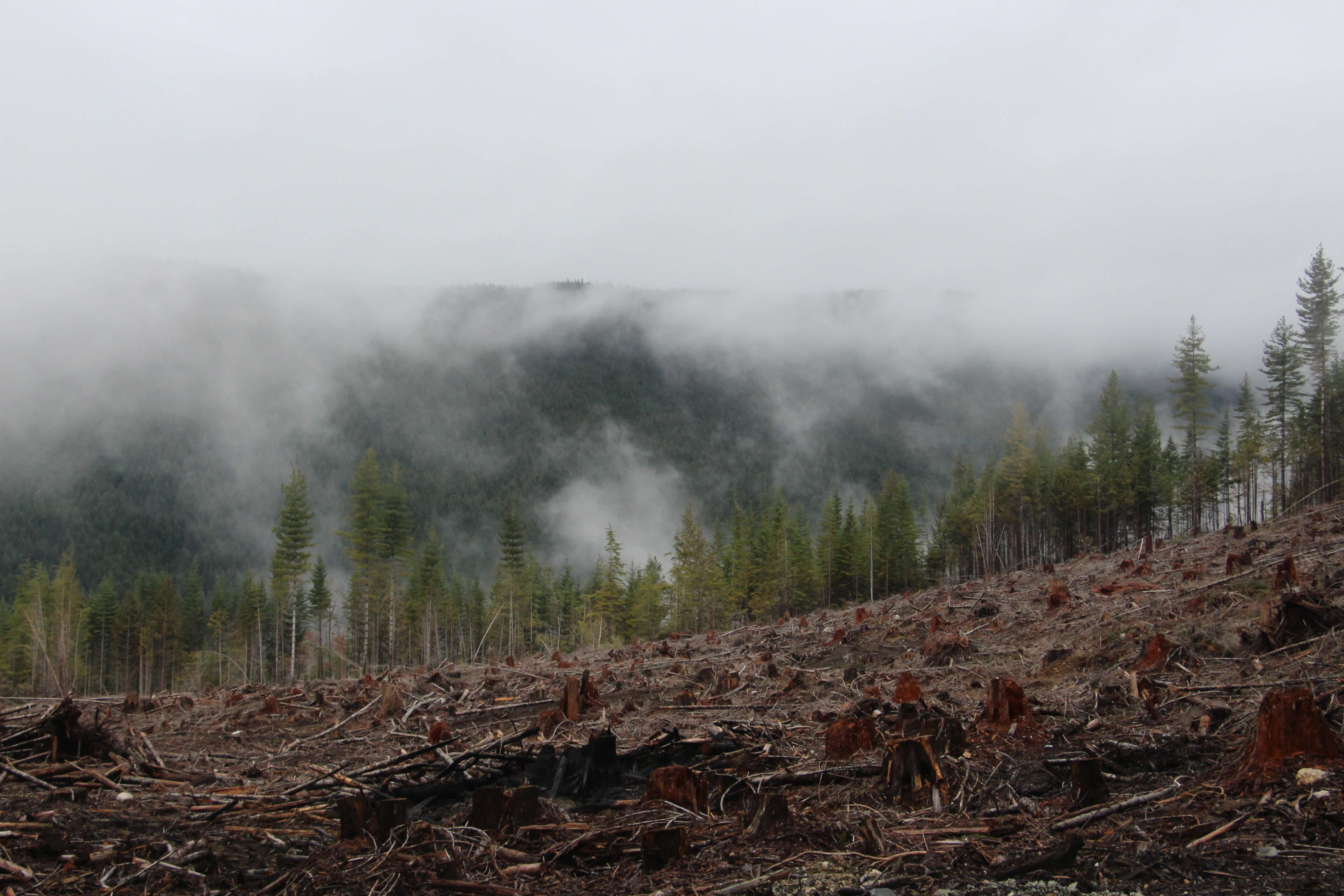 Clear cut forest in the fog