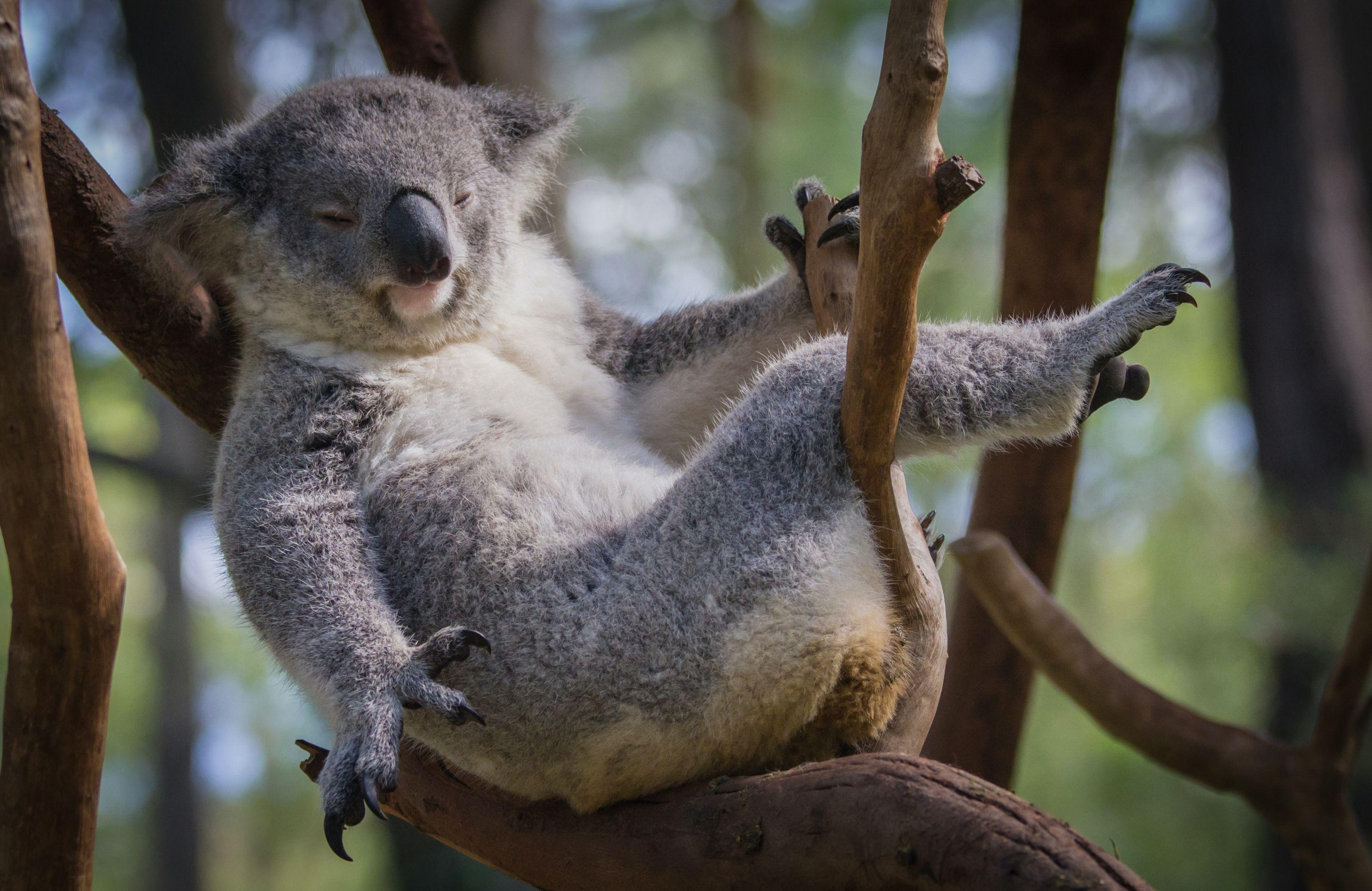 lounging koala