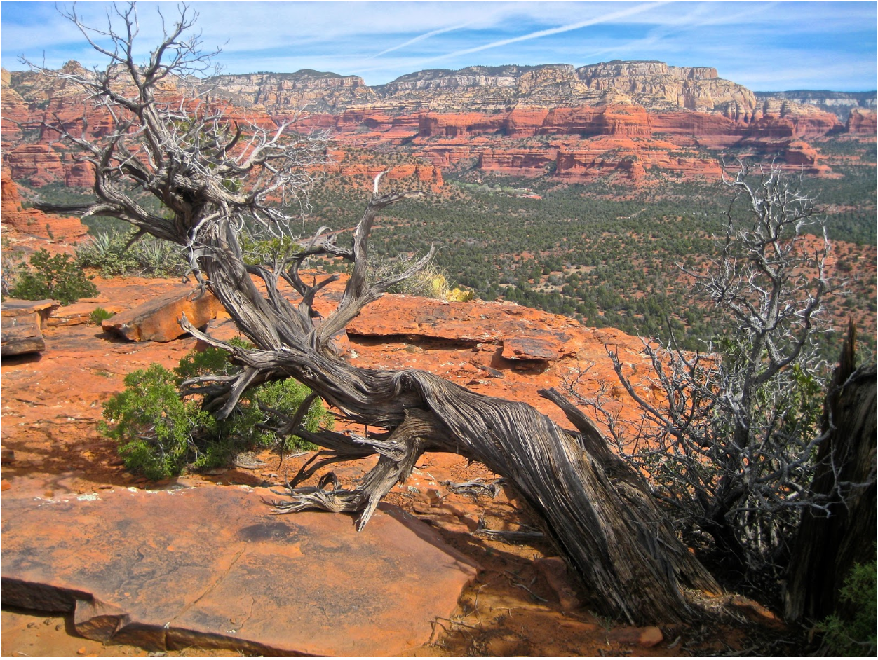 Tree in a canyon with a twisted trunk