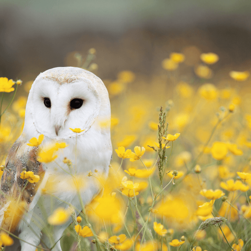 A white owl sitting among yellow flowers in a field