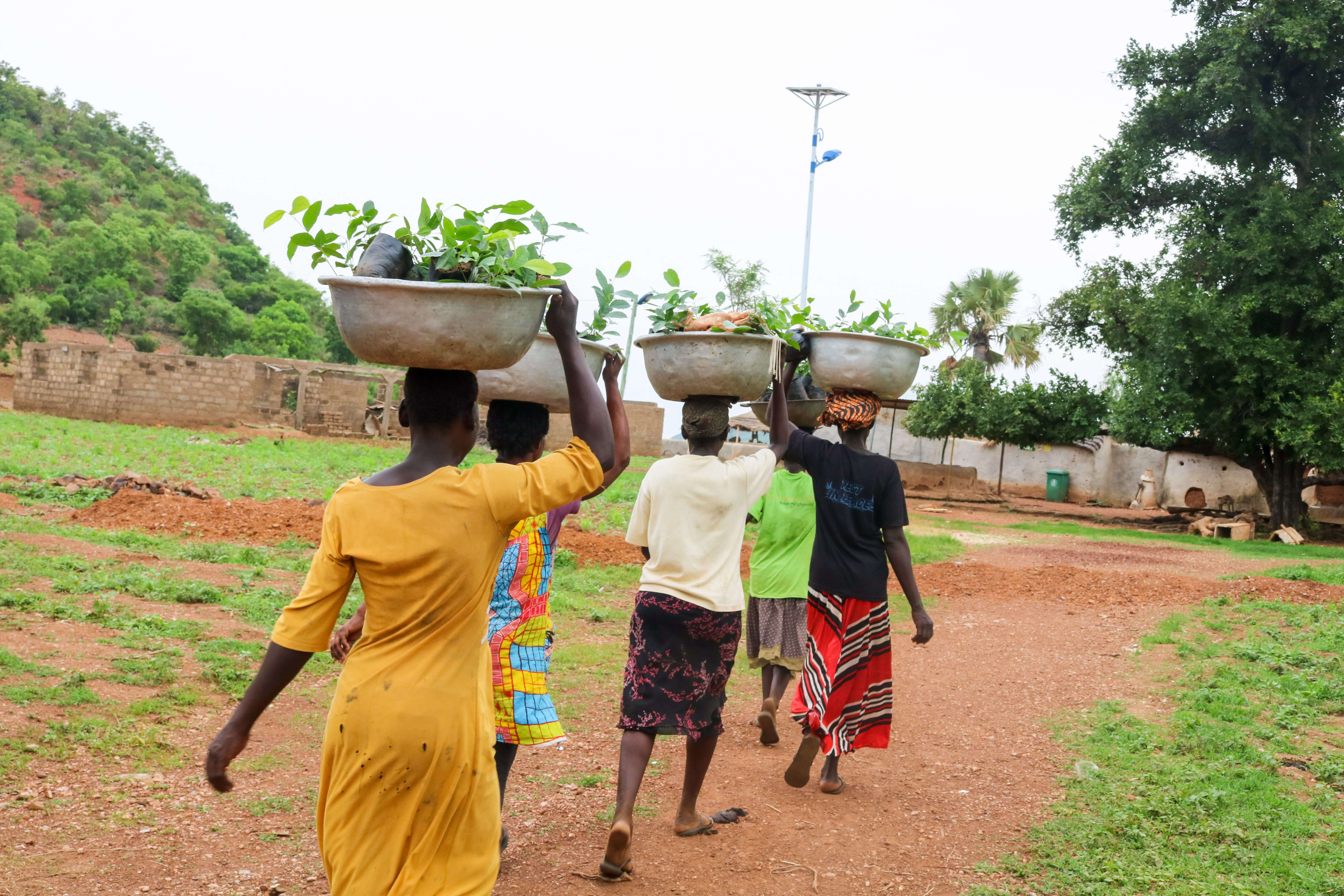 women carrying saplings on their heads in ghana