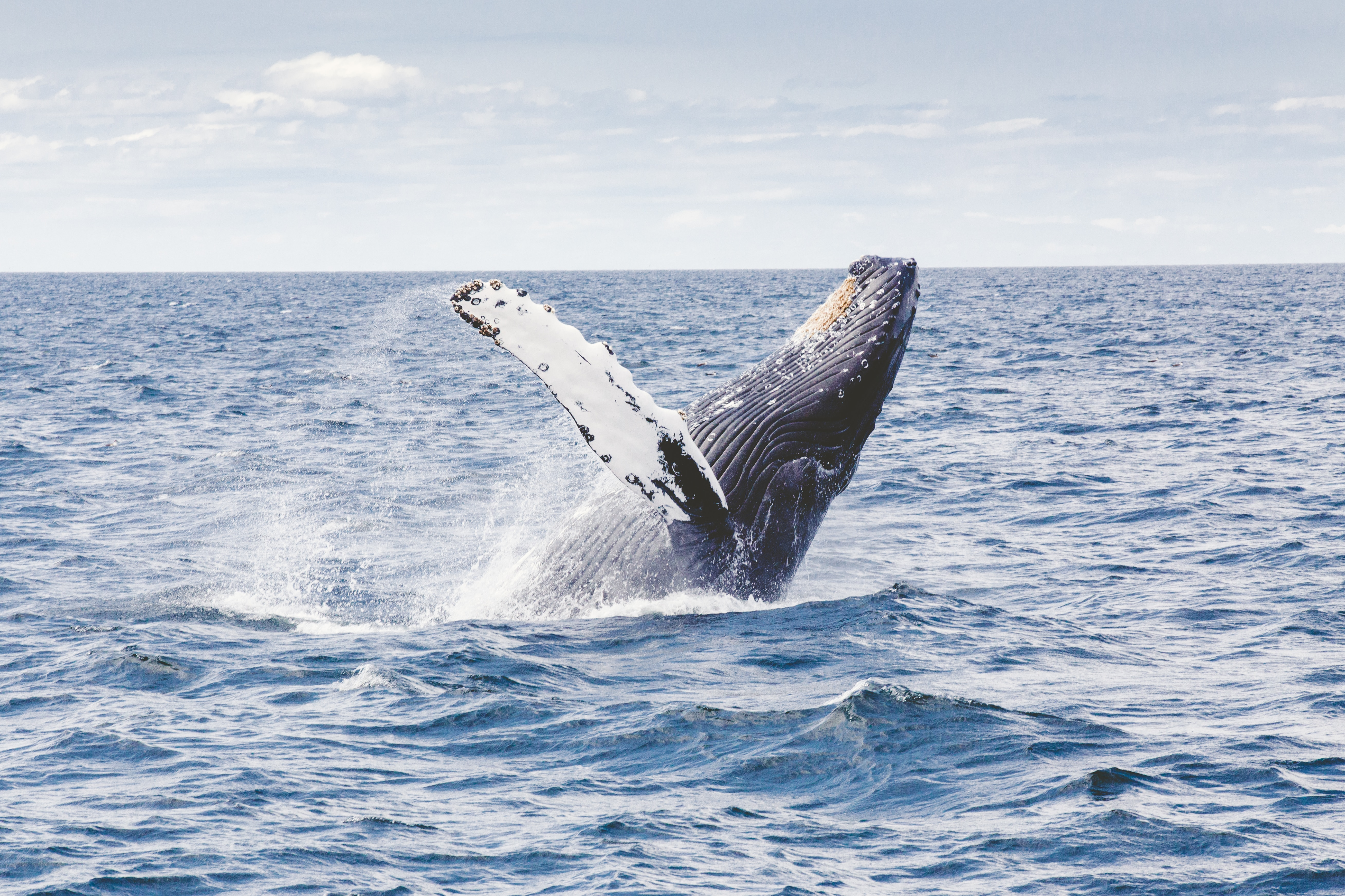 humpback whale jumping in water