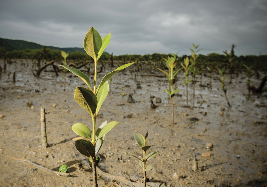 small mangroves growing in the mud