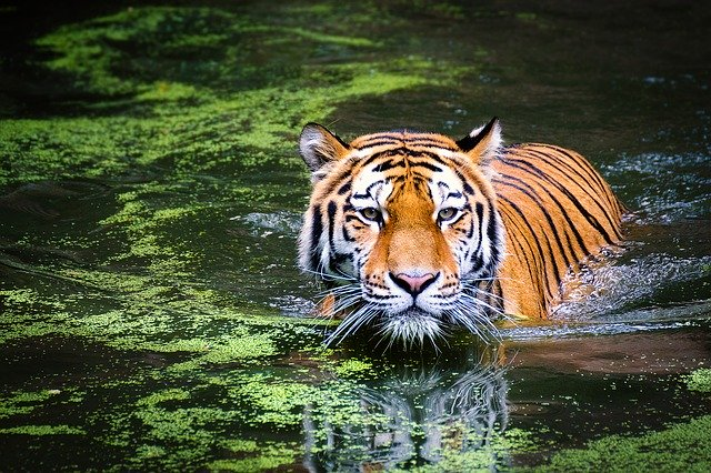 tiger walking in a river