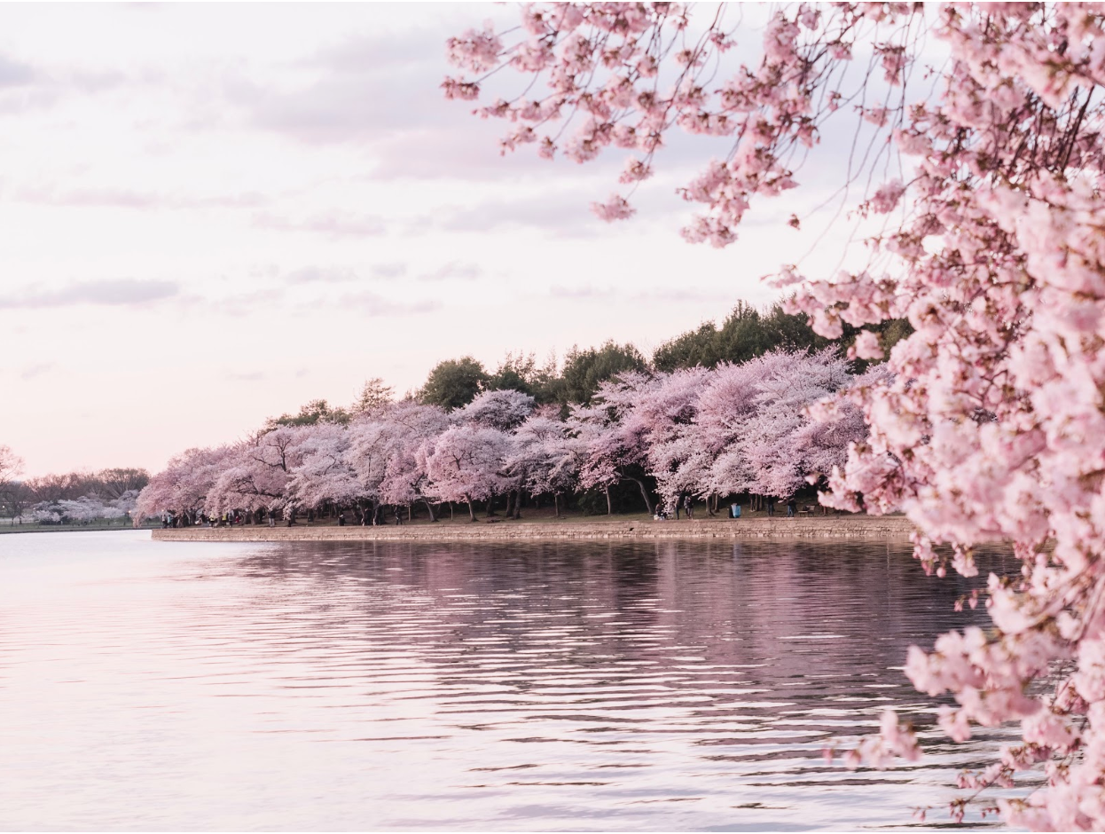 Pink flowering trees lining a pond