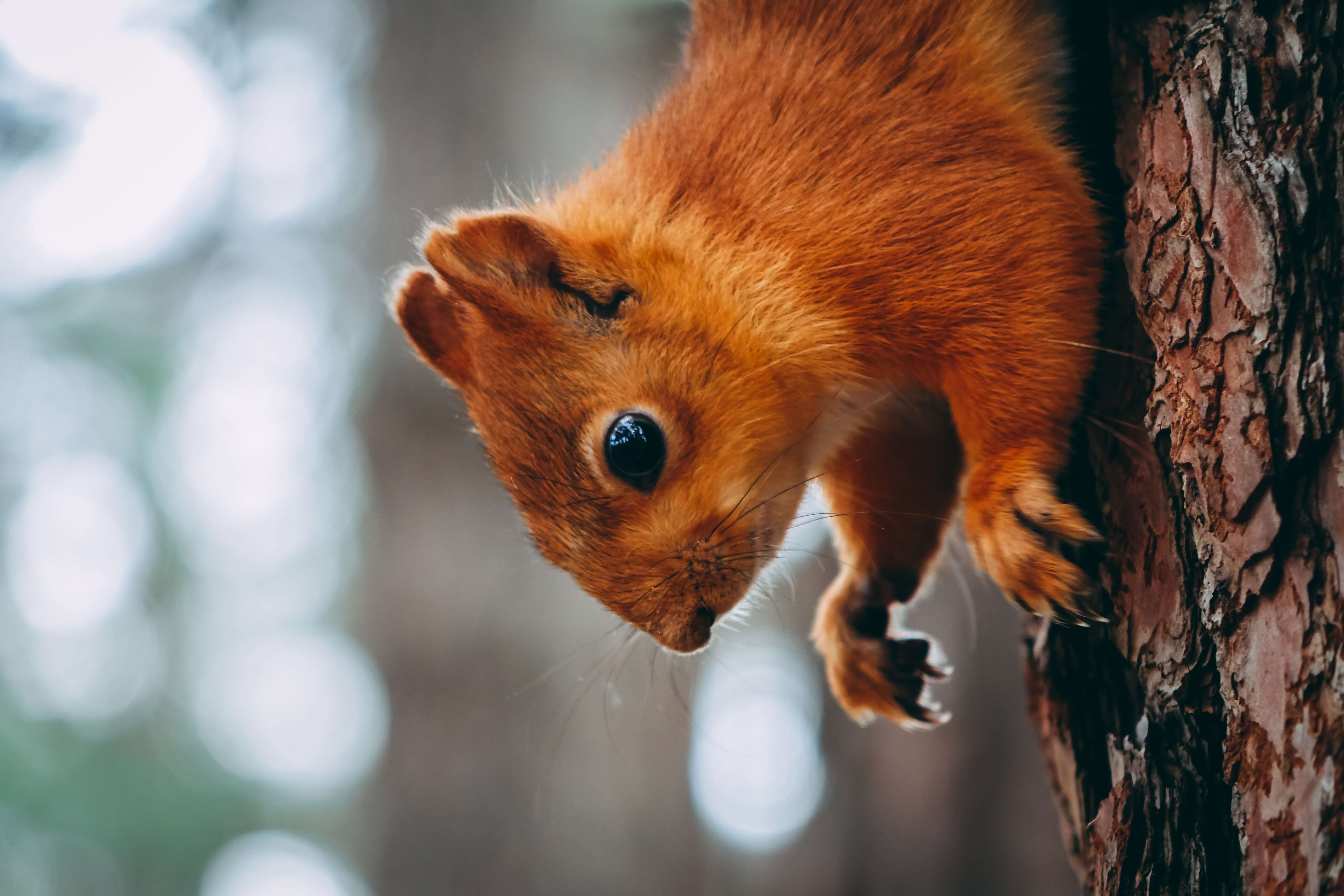 close up of a red squirrel climbing down a tree