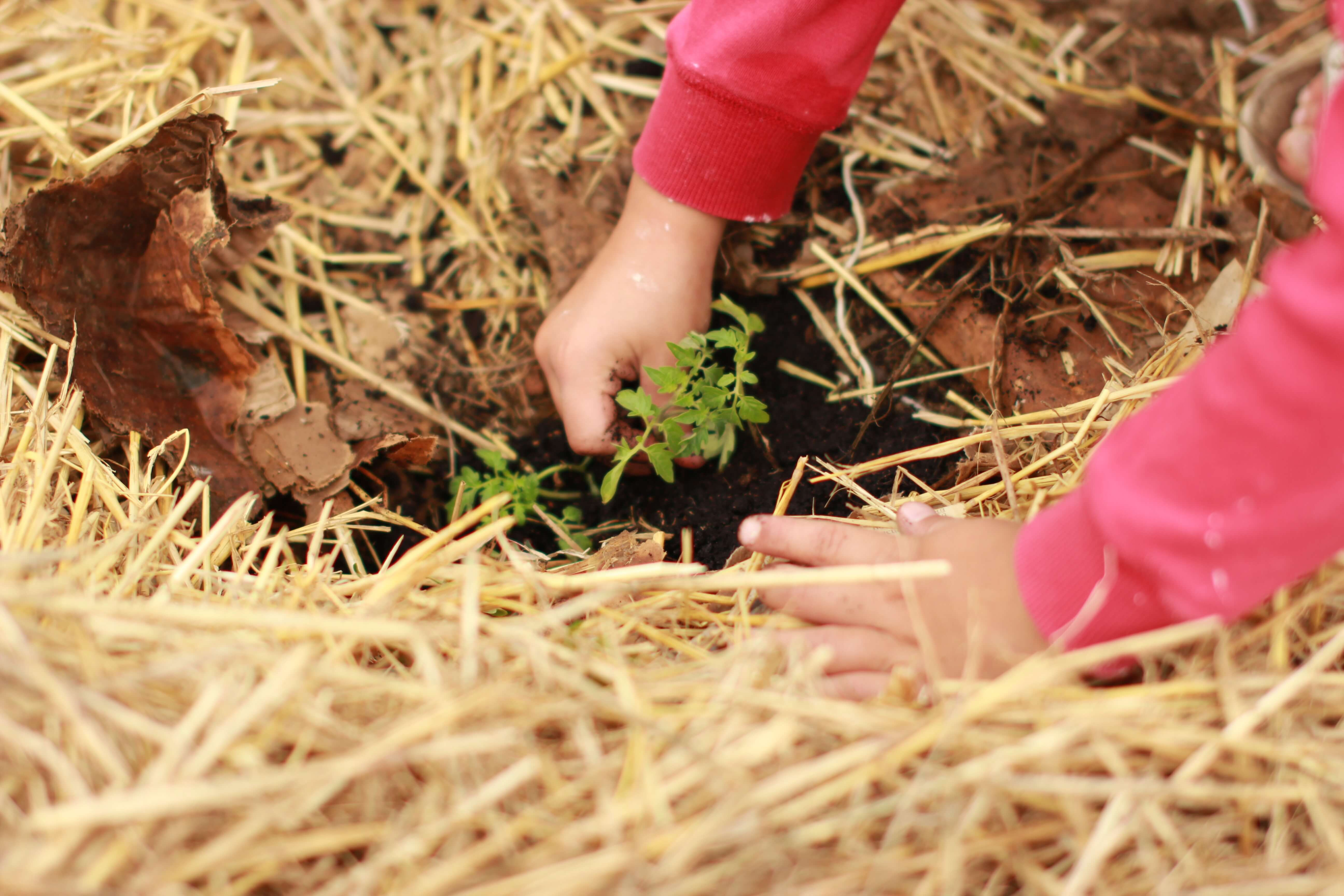 young child's hands planting a sapling amongst dry grass