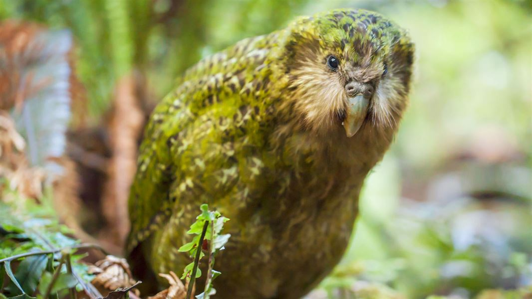 a kakapo stands on the forest floor looking at the camera