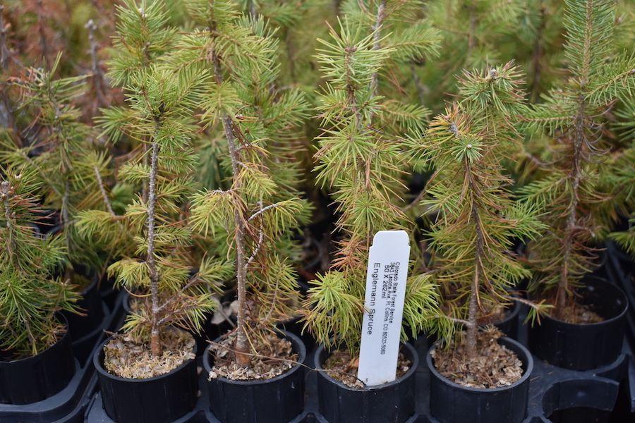 Englemann Spruce tree seedlings at the tree nursery