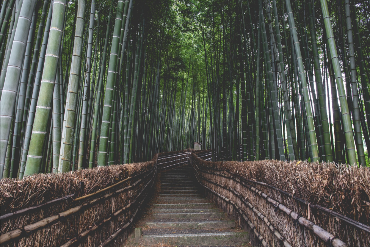 Walking path surrounded by tall thing green bamboo trees