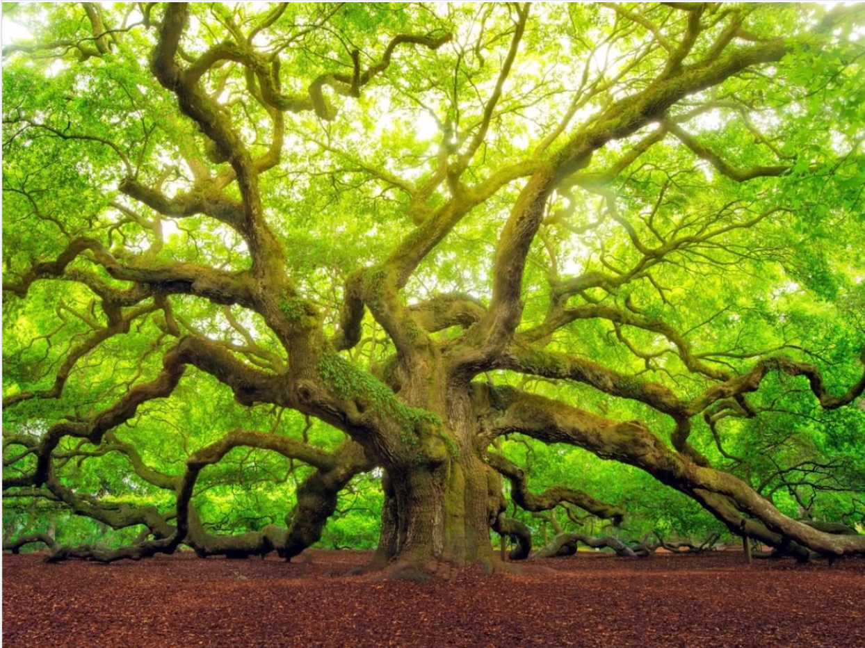 Huge oak tree with long limbs that touch the ground