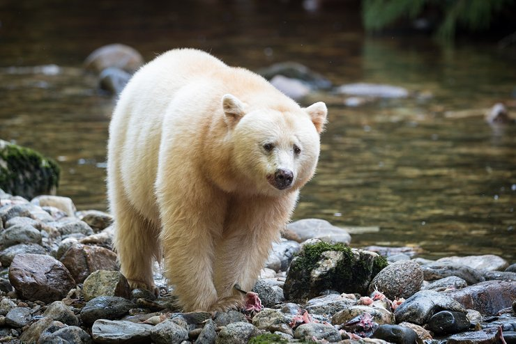 Spirit bear near a river
