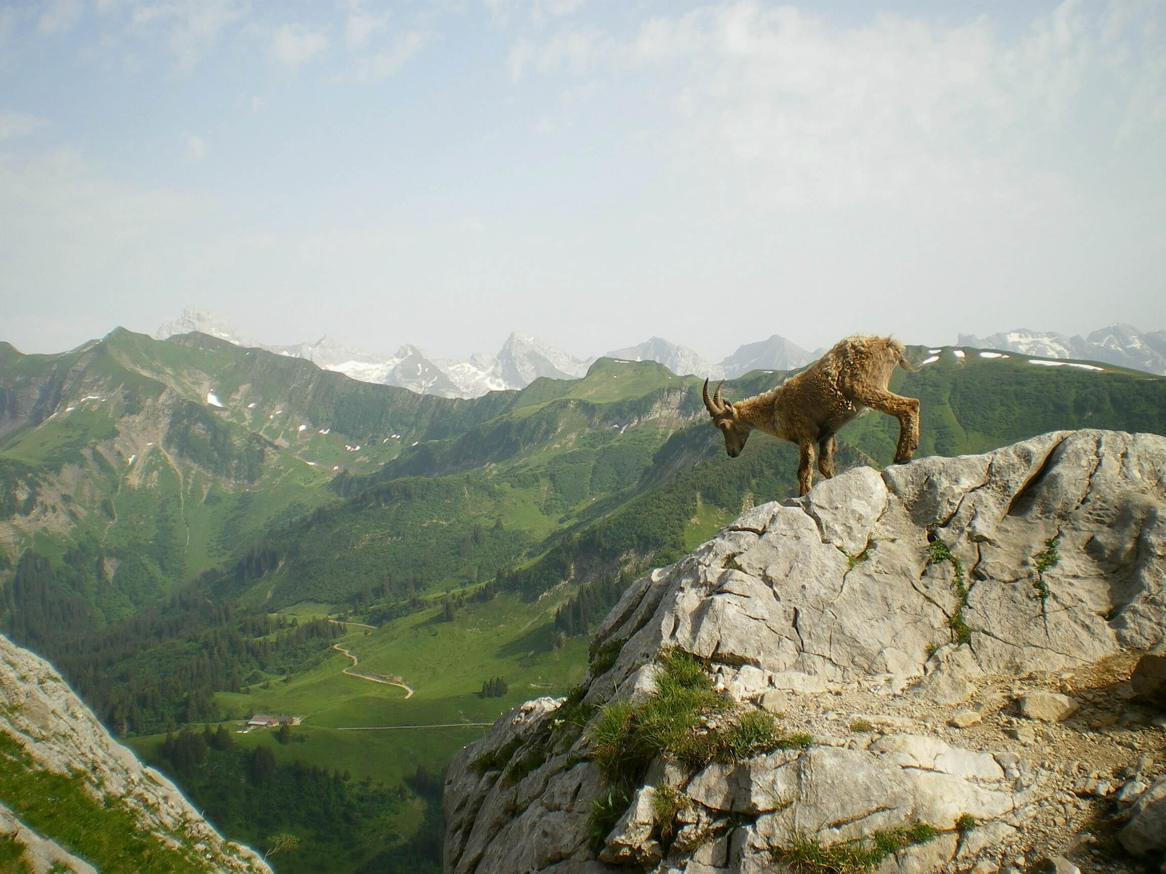Ibex walking a rocky cliff in the mountains