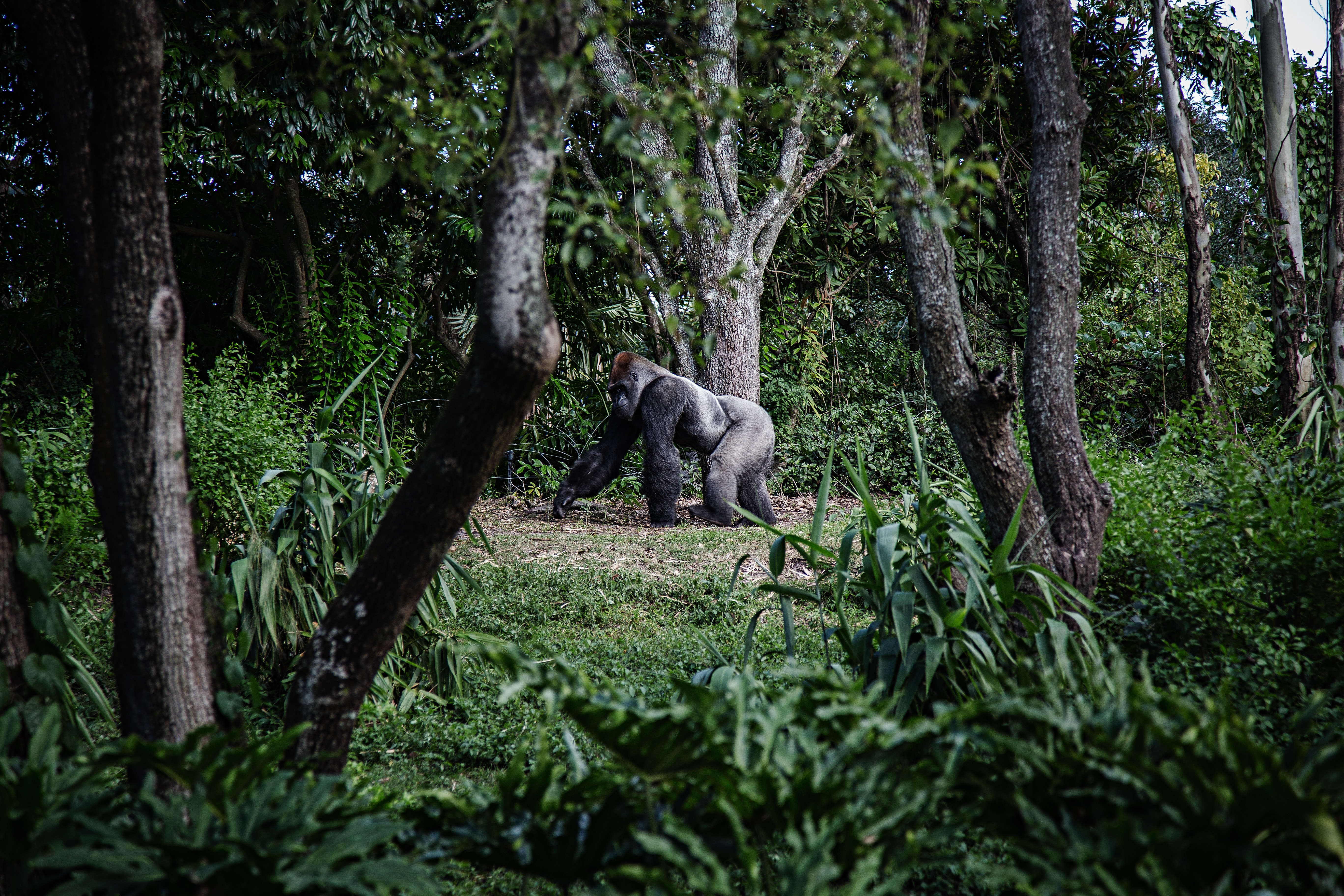 gorilla walking through forest