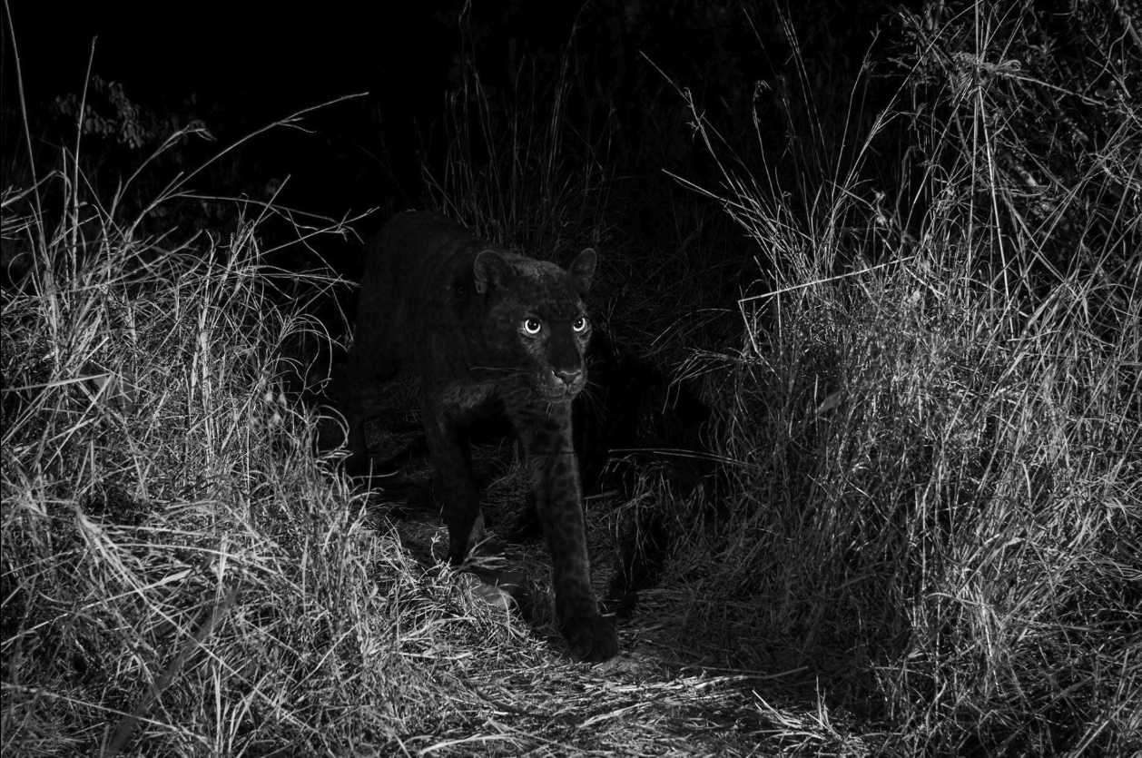 Black leopard walking through buses in Kenya